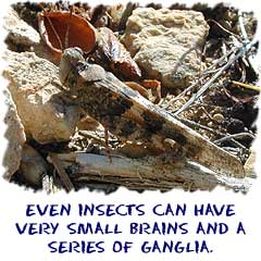 Even insects can have a small brain and a system of ganglia.