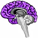 brain cerebrum
