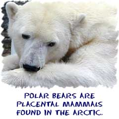 Polar bears are placental mammals found in the arctic