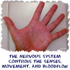The nervous system controls the senses, movement, and bloodflow in your body.