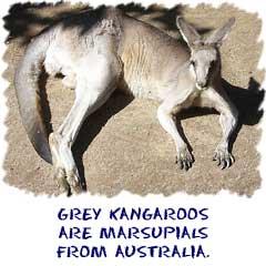 Grey kangaroos are found in Australia